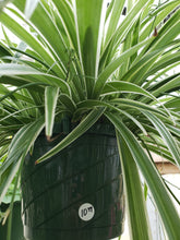 "Load image into Gallery viewer, Spider Plant - 10"" hanging basket"