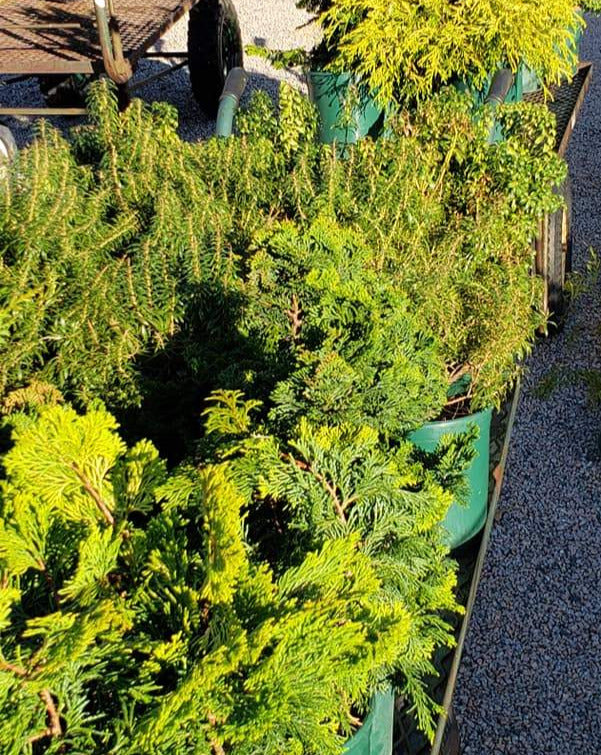 Shrubs for sale at Shelley's Garden Center - Branford