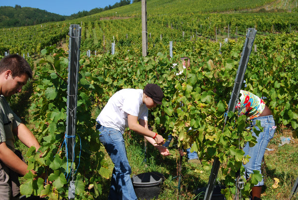 Harvesting in Andlau Alsace France for Domaine Rémy Gresser