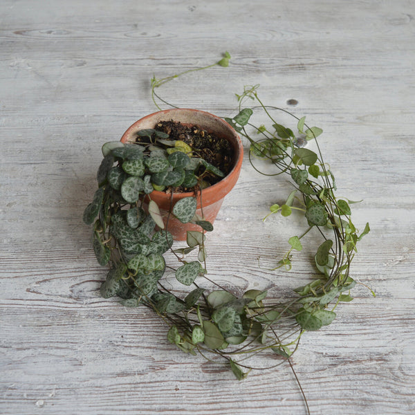 Vintage Terracotta Pot & String of Hearts Plant