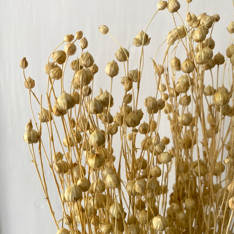 Dried Natural Flax (Linum)