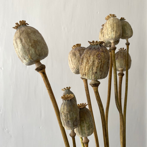 Dried Poppy Heads