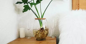 Fishbowl with philodendron selloum (20cm)