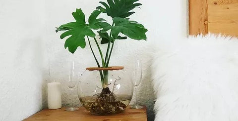 Barrel Vase with Philodendron Selloum (20cm)