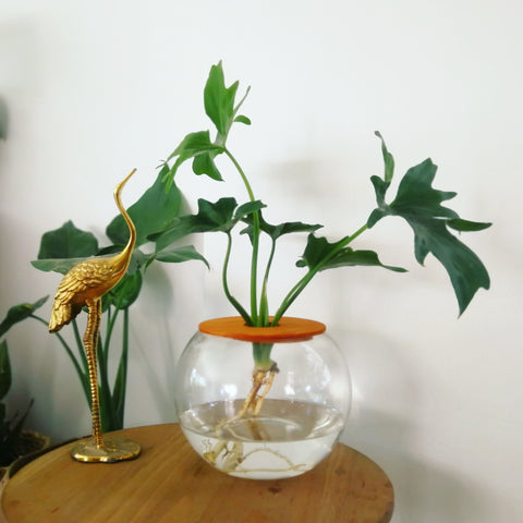 Fishbowl with philodendron selloum (15cm)
