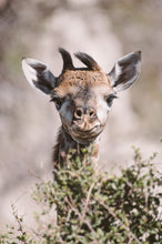 Load image into Gallery viewer, #014 BABY GIRAFFE