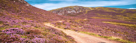 a footpath in Scotland, in the mountains and surrounded by heather