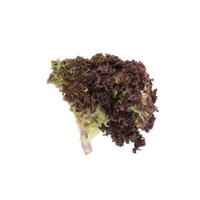 Lettuce Red Coral