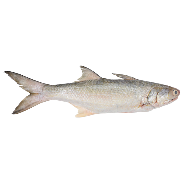 Threadfin Whole Fish<p>$2.60/100g<br>Fresh Caught