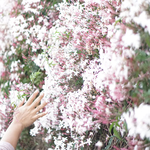 Picture of hand grazing a fresh blooming jasmine bush