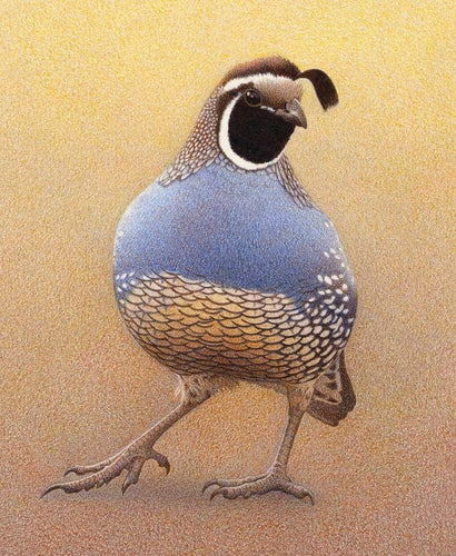 California Quail with his blue breast and textured underside in yellow, cream and brown, dark eye and  black topknot. One foot is stepping forward giving movement to the image.