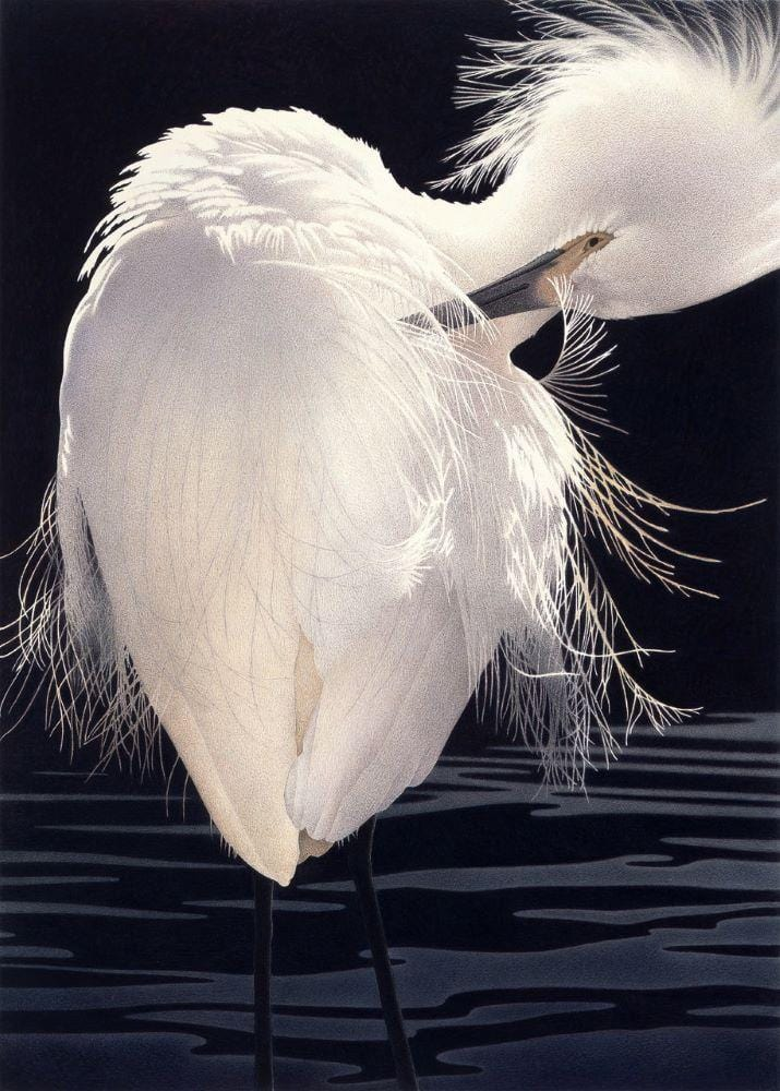 Snowy Egret, filmy feathers detailed in dark blue black waters