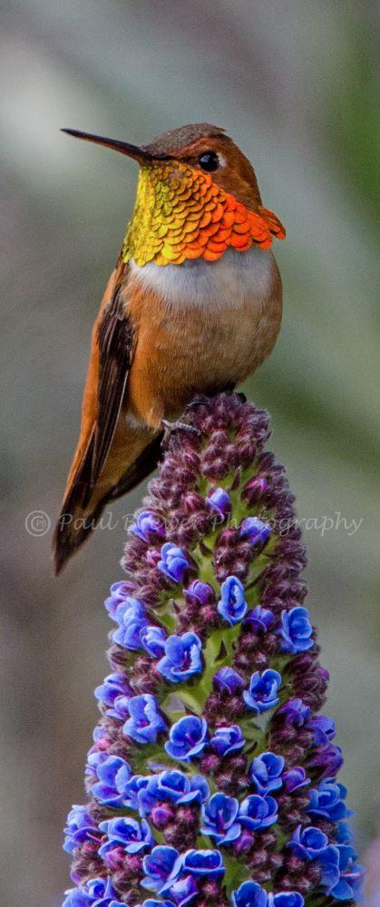 Rufous hummingbird flashing his colors as he perches on a Pride of Madeira