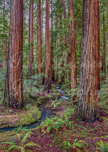 Majestic giant redwood trees with a stream meandering though, with ferns and sorrel on it's banks.
