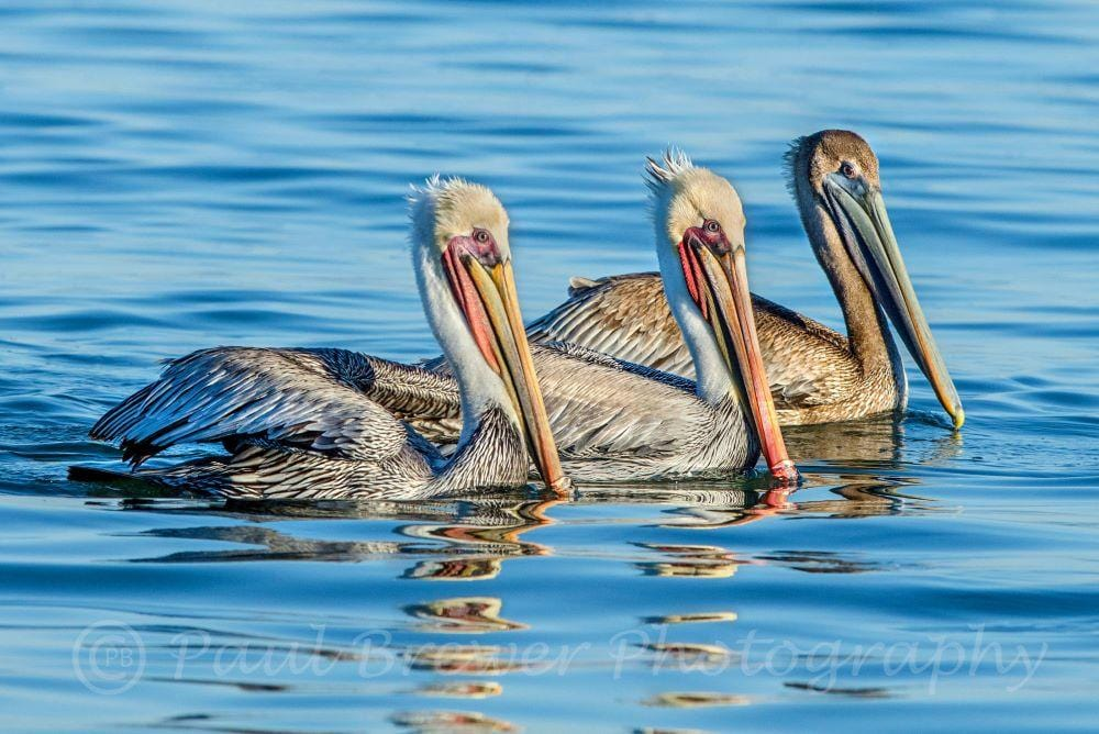 Three pelicans float on calm blue water, variations of coloring on the pelicans with yellow, cream, orange, browns and blue.