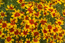 Load image into Gallery viewer, Coreopsis V. Curry Up #400