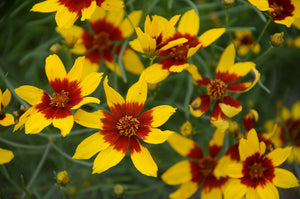Coreopsis V. Curry Up #400