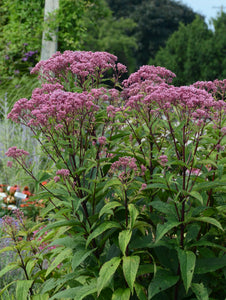 Eupatorium D. Baby Joe #400