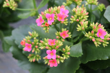 Load image into Gallery viewer, Kalanchoe #04