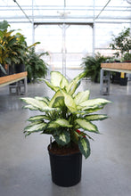 Load image into Gallery viewer, Dieffenbachia Camille #10