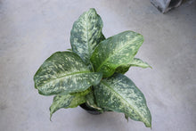 Load image into Gallery viewer, Dieffenbachia Mars #10