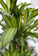 Load image into Gallery viewer, Dracaena Mass Cane 5'4'3'2' #14
