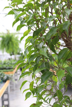 Load image into Gallery viewer, Ficus Benjamina #14 Standard