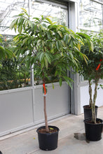 Load image into Gallery viewer, Ficus Amstel King  #14 Standard