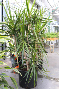 Dracaena Marginata #14 Staggered
