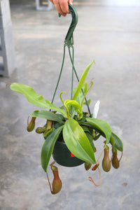 Pitcher Plant Nepenthes #06 Basket
