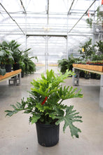 Load image into Gallery viewer, Philodendron Hope #10