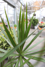 Load image into Gallery viewer, Dracaena Marginata #10 Character
