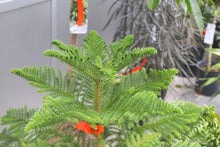 Load image into Gallery viewer, Norfolk Island Pine #10