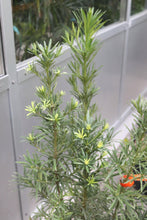 Load image into Gallery viewer, Podocarpus #10