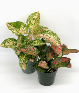 Aglaonema Red/Pink Varieties #06