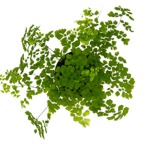 Fern Maidenhair #06
