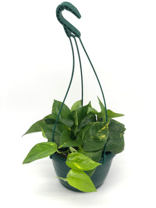 Pothos Golden #08 Basket