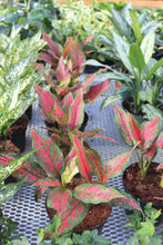 Load image into Gallery viewer, Aglaonema Pink Dalmatian #06