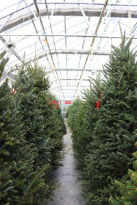 Fraser Fir Christmas Tree 6-7'
