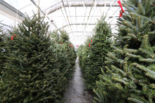 Load image into Gallery viewer, Fraser Fir Christmas Tree 6-7'