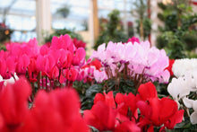 Load image into Gallery viewer, Cyclamen #04
