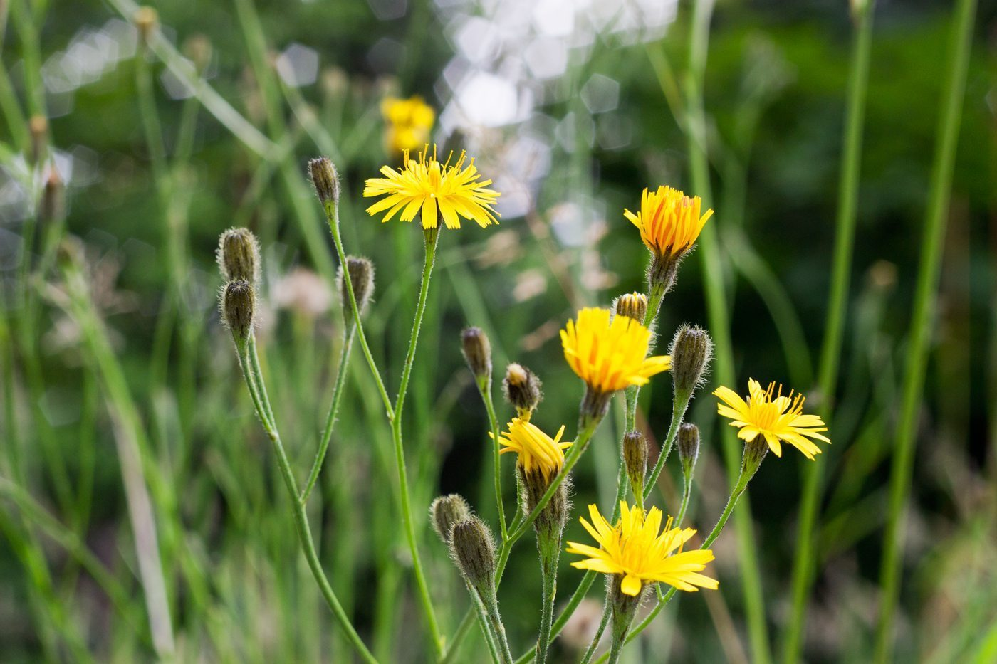 dandelion - medicinal plants in the wild