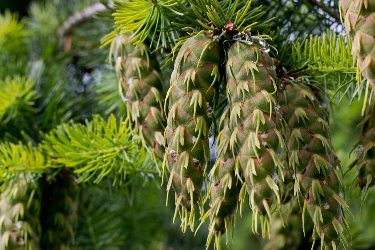 Douglas Fir Cone - foraging for medical plants in the wild