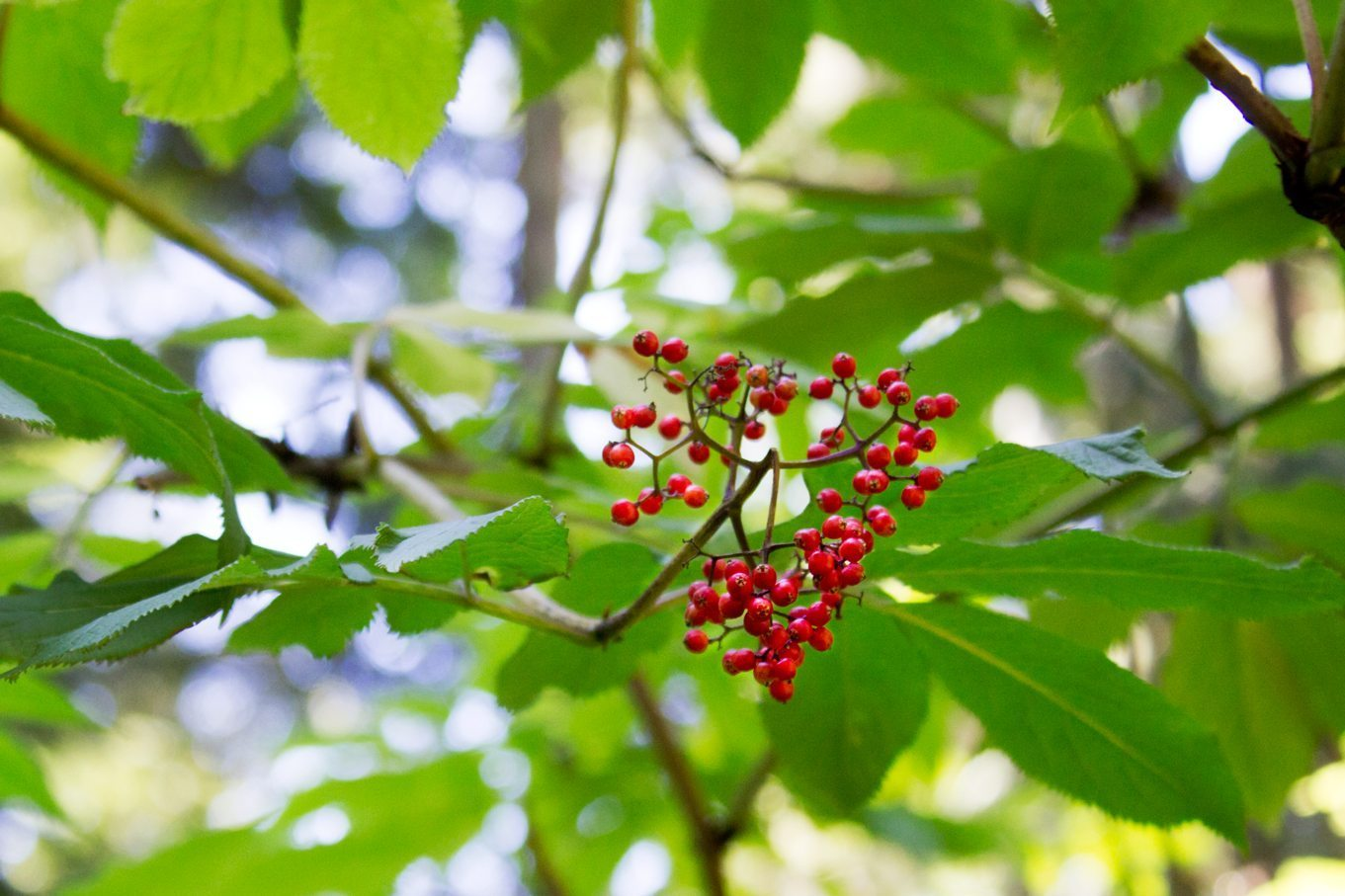 elderberry - foraging for medicinal plants in the wild