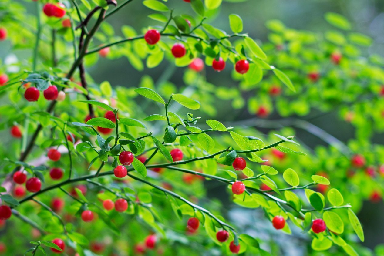 Huckleberry - medicinal plants in the wild