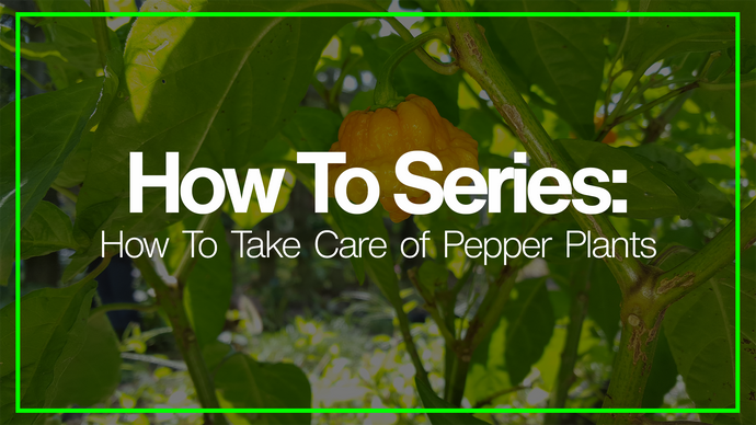 How To Care For and Take Care Of Hot Pepper Plants