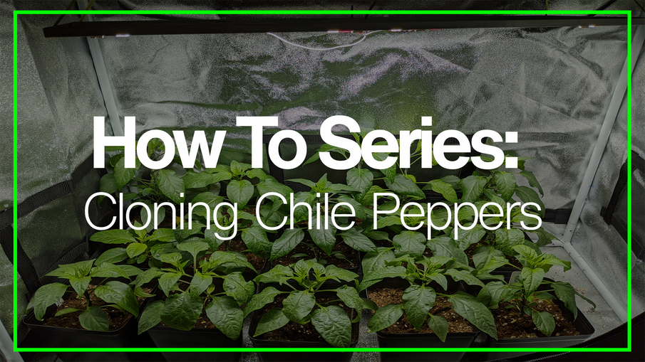 How to Successfully Clone Chile Pepper Plants