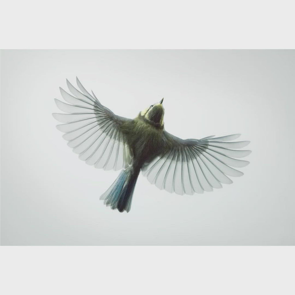 Blue Tit in Flight viewed from above