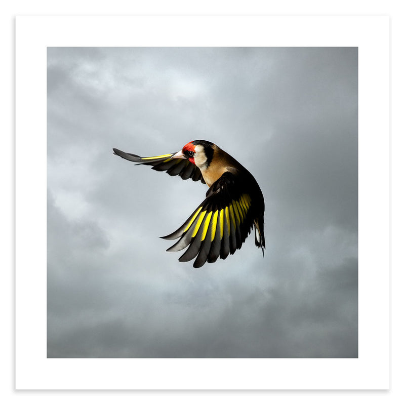 Goldfinch in flight