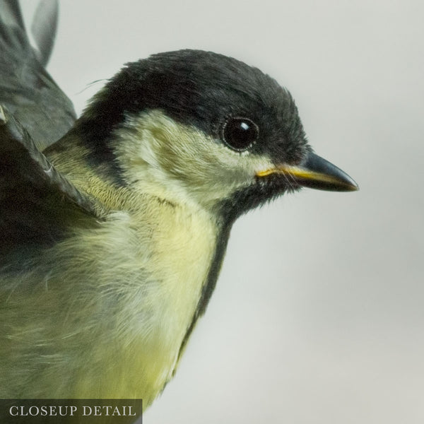 Great Tit 1 (Juvenile)